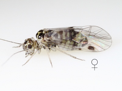Blaste quieta female