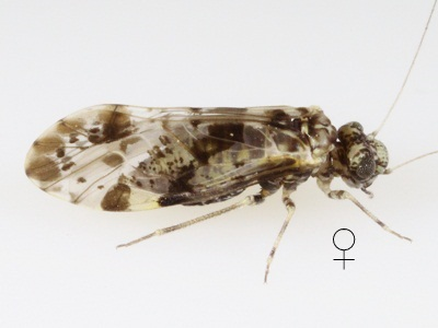 Trichadenotecnum slossonae female