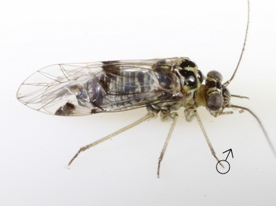 Hyalopsocus sp. male.