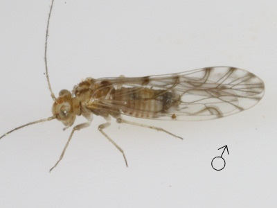 Lachesilla texana male