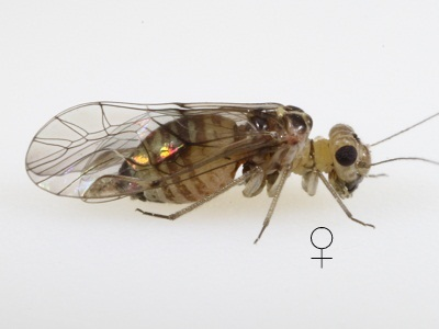 Blastopsocus lithinus female