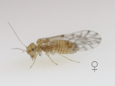 Lachesilla texana female