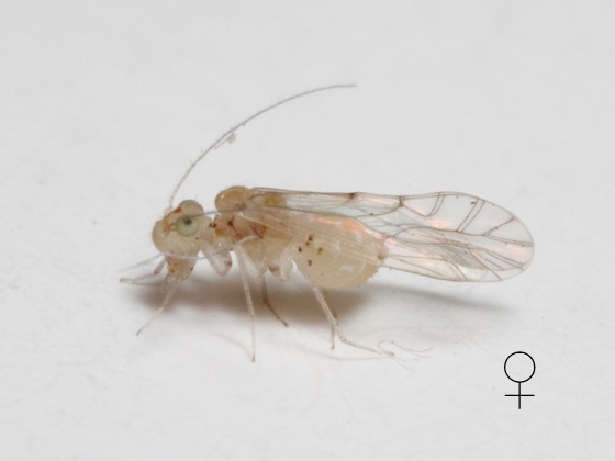 Lachesilla kathrynae female