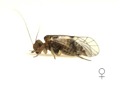 Indiopsocus campestris female